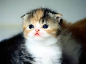 scottish fold cat cat picture and information