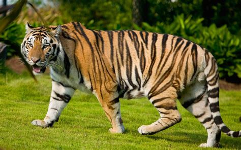 tiger background   beautiful full hd