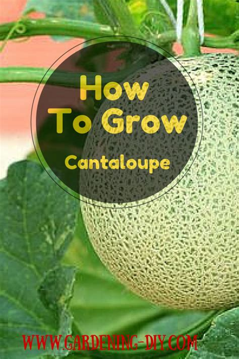how to grow cantaloupe admin author at gardening tips page 12 of 20