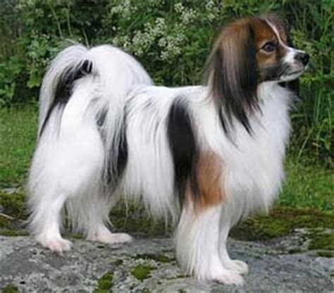 phalene dog info history temperament training puppies