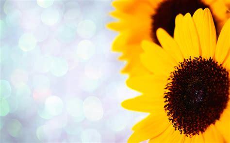sunflower wallpapers hd  pixelstalknet
