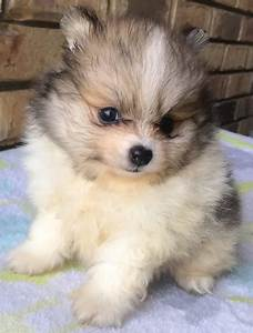 Teacup Pomeranian Puppies For Sale Online