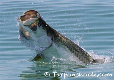 tarpon boca grande report fish fishing