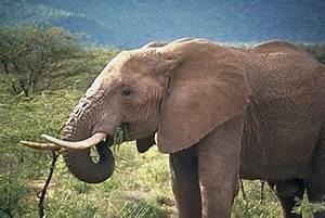 The Proboscidea  Phosphatherium