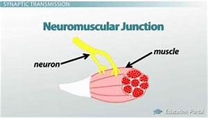 Myoneural junction and neuromuscular diseases