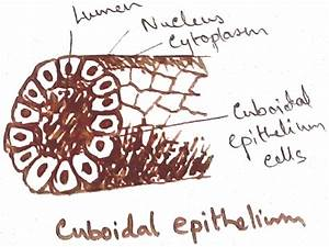 Animal Tissues And Their Four Types