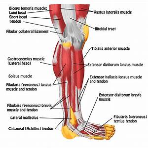 Leg Muscles And Tendons Muscles Tendons And Ligaments In