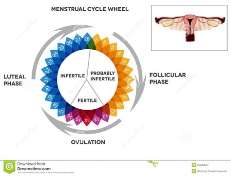 Menstrual Cycle Calendar And Reproductive System Stock