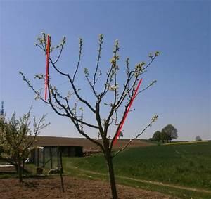 Baum Richtig Schneiden Baum Schneiden Baumschnitt Mirabellenbaum