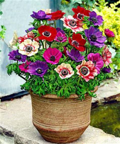 Gefüllte Anemonen Pflanzzeit by Gef 252 Llte Anemone Bakker Auf Blumen De Kaufen