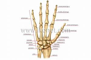 Human Being  U0026gt  Anatomy  U0026gt  Skeleton  U0026gt  Hand Image