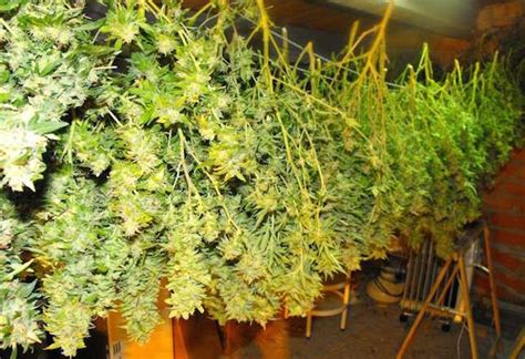 chambre de sechage cannabis comment faire sécher votre cannabis guide de cannabiculture