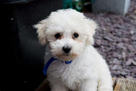 Bichon Frise Puppy Monty Monty In The Garden Jonathan