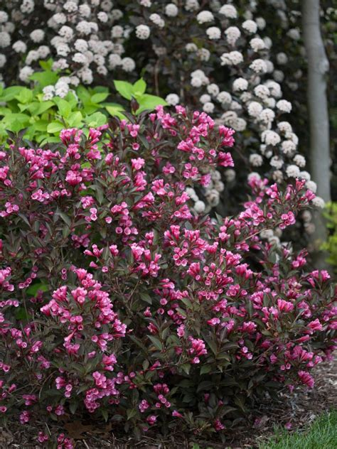 flowering evergreens 14 flowering shrubs for sun hgtv