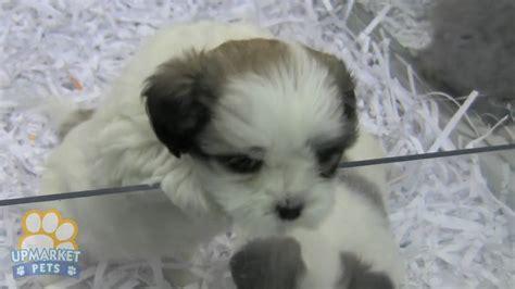 chihuahua  maltese puppies youtube