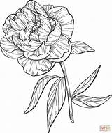 Coloring Peony Pages Printable sketch template