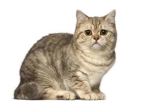 Cats Breeders by Shorthair Breeders Australia Shorthair