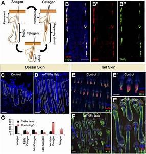 Apoptotic cells can induce non-autonomous apoptosis ...