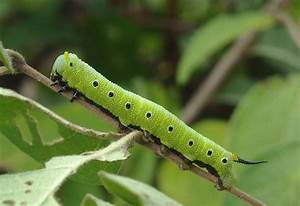 Sphinx Moth Caterpillars