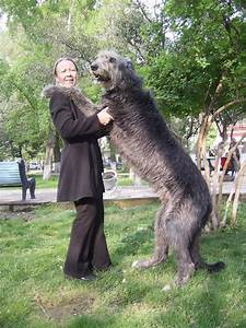 10 Interesting Facts About Irish Wolfhounds