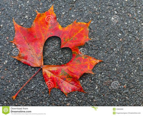 fall  love photo metaphor  maple leaf stock photo