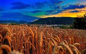 wheat field sunset - HD Desktop Wallpapers   4k HD