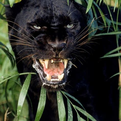 Panther Animal Wallpaper - panther wallpapers 81