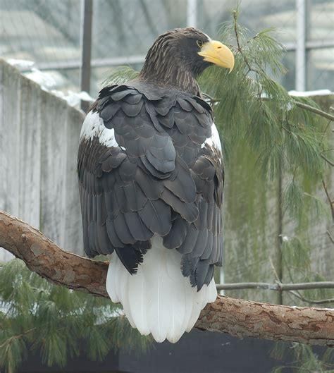 Filesteller's Sea Eagle Haliaeetus Pelagicus Back 1700pxjpg  Wikimedia Commons