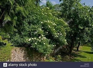 Kleiner Baum Mit Breiter Krone : gemeinsame sambucus nigra wei en holunderbl ten auf ~ Michelbontemps.com Haus und Dekorationen
