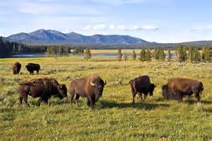 Bison Yellowstone National Park Animals