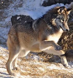 cute wolf on Tumblr