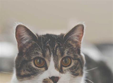 die  beliebtesten katzenrassen zooroyal magazin