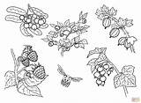 Berries Coloring Pages Main Printable Drawing Skip sketch template