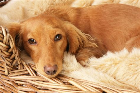 gestation period for dogs how long are dogs pregnant dog gestation period american kennel club