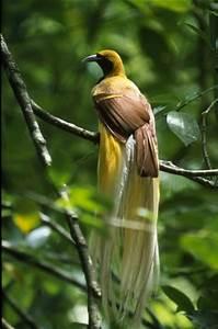 Lesser Bird of Paradise | Flickr - Photo Sharing!