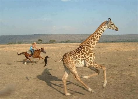 giraffe horse human horses equestrian giraffes saddle racing race animals