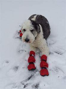 dog wears tall snow boots to protects paws and legs With winter dog care