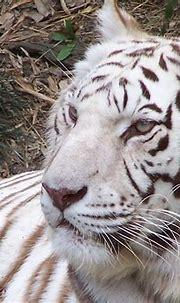 White Tiger @ Zoo | Tiger zoo, White tiger, Tiger