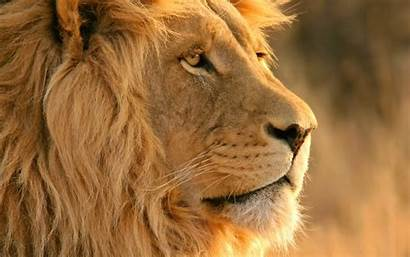 Lion Wallpapers Widescreen Resolutions 1280