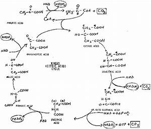 Krebs Cycle Handout
