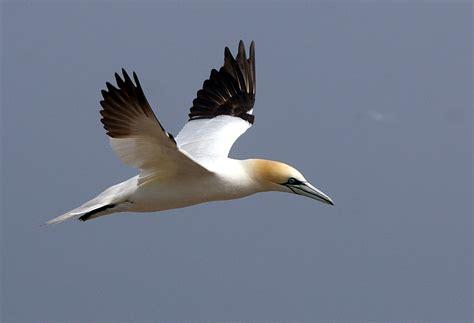 File:Flying Northern Gannet.jpg - Wikimedia Commons