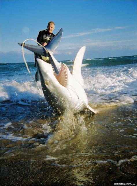 whale shark   biggest fish  shark   world