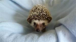 African Pygmy Hedgehog Babies for Sale | Luton ...