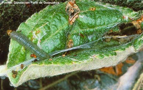 http://www.fomesa.net/Calidad/Variedades/Plagas/pepita/Lepidopteros_3.htm