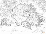 Porcupine Coloring African Crested Pages Printable Animals Template Porcupines Drawing Safari Drawings Designlooter Realistic American Animal 51kb 900px 1200 Dot sketch template