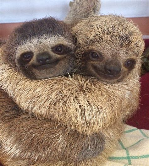 Sometimes, you've just got to hug it out #sloths • /r/aww ...