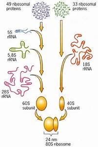 Ribosome  The Ultimate Protein Synthesizing Nano Machine