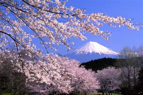 japans cherry blossom      iconic image