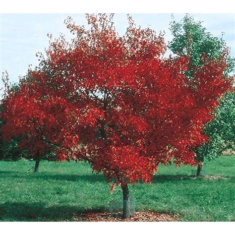amur maple shop 3 25 gallon amur maple shade tree l7792 at lowes com