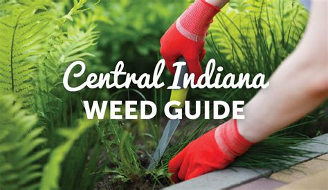 Central Indiana Weed Guide Lawn Pride